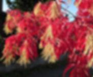 Arbre de collection, Oxydendrum arboreum
