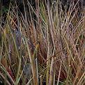 Libertia ixioides graminée