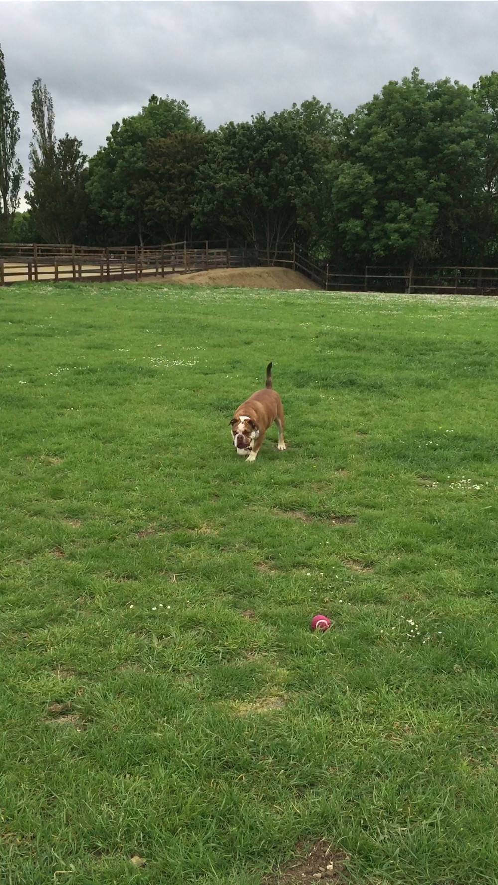 Dog exercise field Upper Shelton, Bedford.  Safe dog field near Milton Keynes