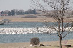 Seagull migration Mar 2017 tlculb
