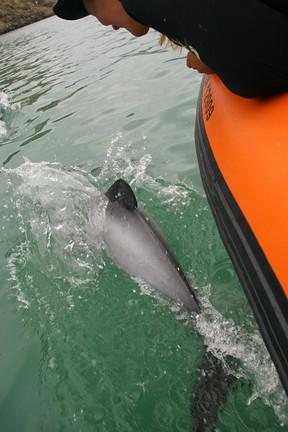 Dolphin near the boat