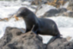 New Zealand Fur Seal at Akaroa Seal Colony Safari