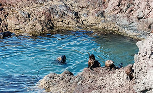 Fur seals in a pool at Akaroa Seal Colony Safari