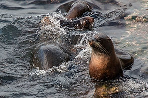 Frolicking fur seals at Akaroa Seal Colony Safari