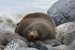 Seal at Paua Bay beach