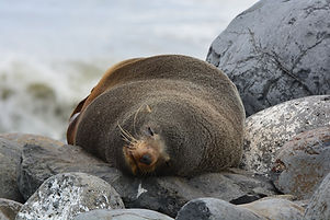 Seal at Paua Bay Farmstay beach