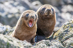 Fur Seal Pups at Akaroa seal colony safari