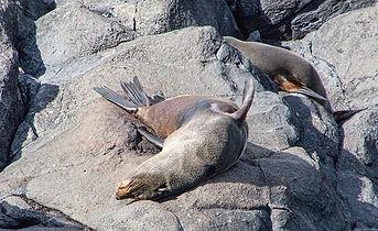 Lounging Fur Seal at Akaroa Seal Colony Safari