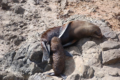 New Zealand fur seal nursing her pup at Akaroa Seal Colony Safari