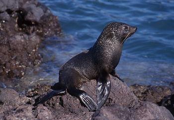Fur Seal at Akaroa Seal Colony Safari
