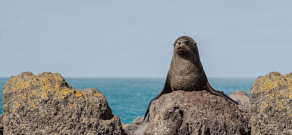 New Zealand Fur Seal at Akaroa Seal Colony Safari