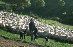 Will, dogs and sheep