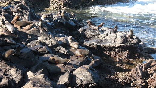 Group of New Zealand Fur Seals at Akaroa Seal Colony Safari