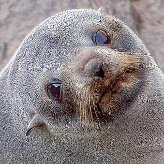 Close up New Zealand Fur Seal at Akaroa Seal Colony Safari