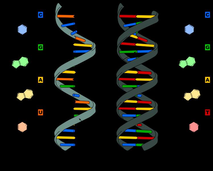 ARN-ADN.png