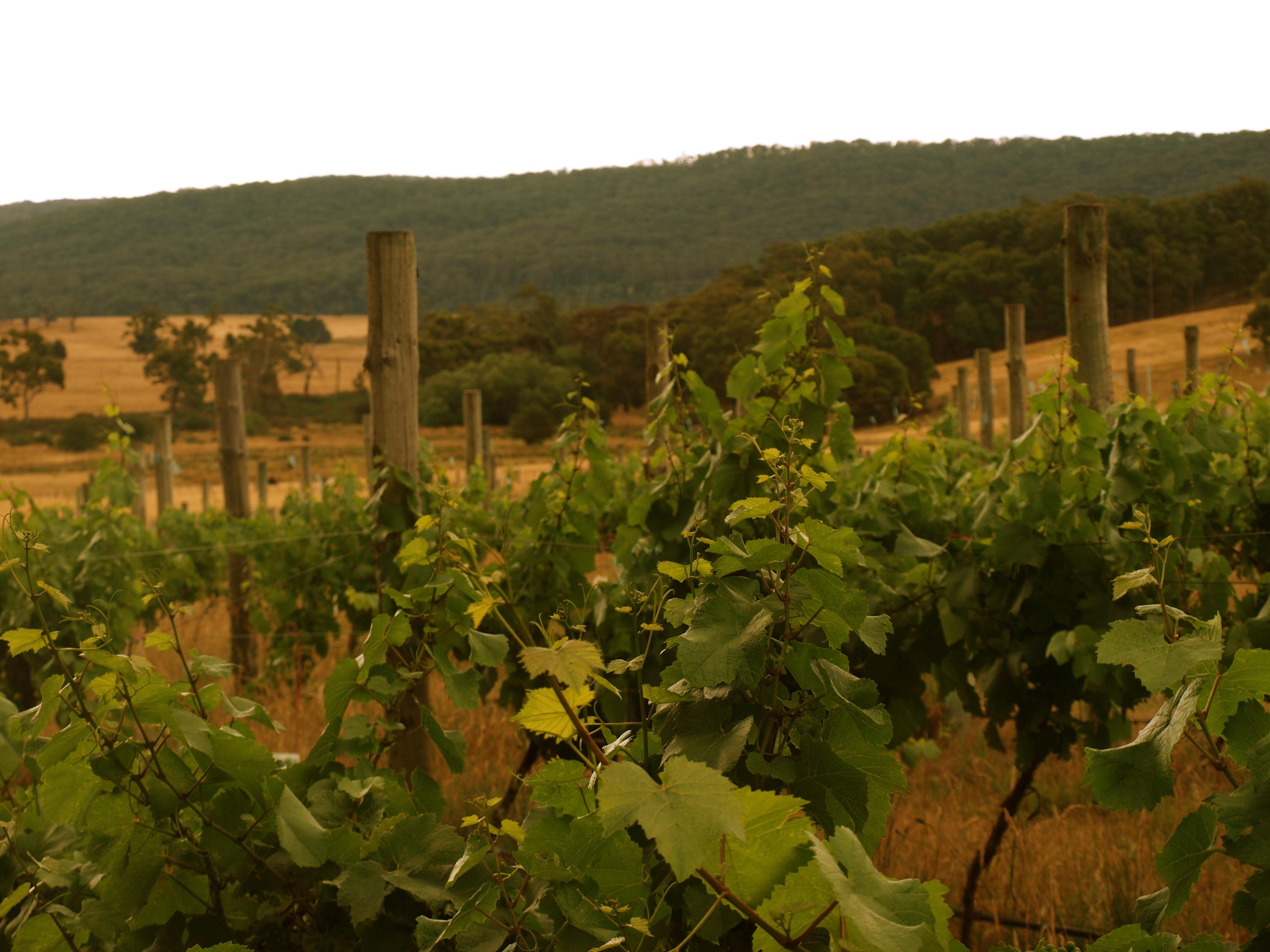 vineyard 2