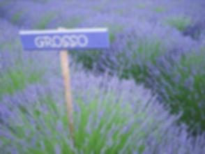 grosso lavender_edited.jpg