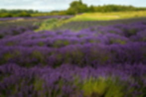 lavender-field-Large.jpg