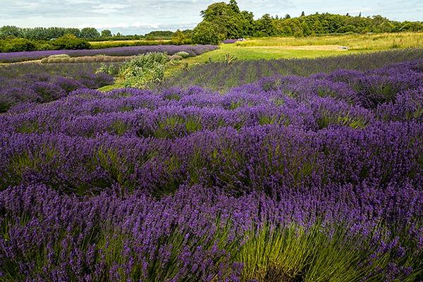 lavender-field-Large.jpg