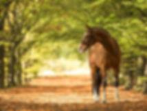 paard-fotoshoot-zangersheide-heartbeat-z