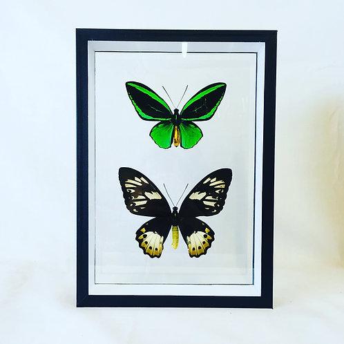 Couple d'Ornithoptera priamus