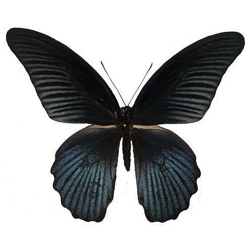Papilio Memnon Male
