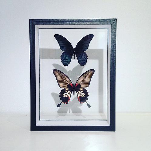 Couple de Papilio memnon