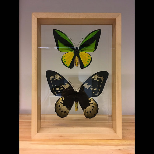 Couple de Ornithoptera goliath