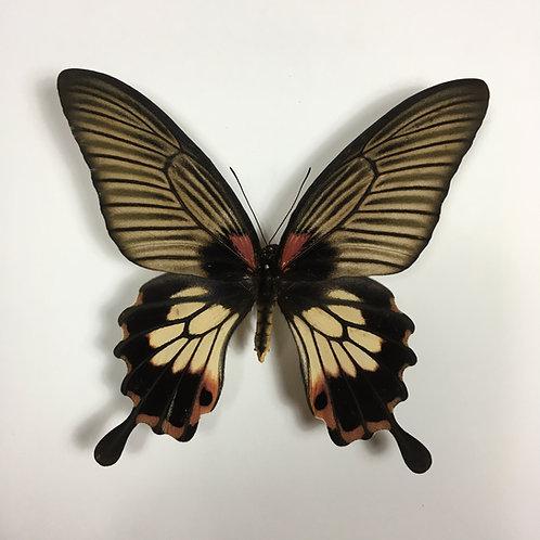 Papilio Memnon Female