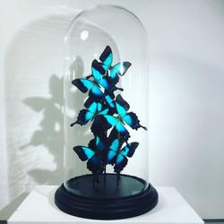 Envolée de Papilio pericles