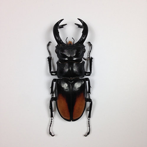 Hexatrius Parryi