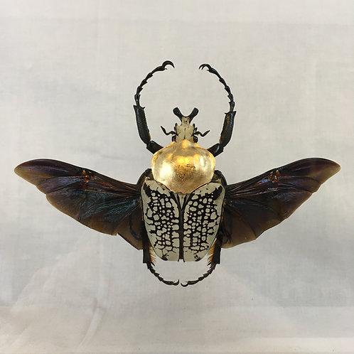 Goliathus orientalis déployé doré