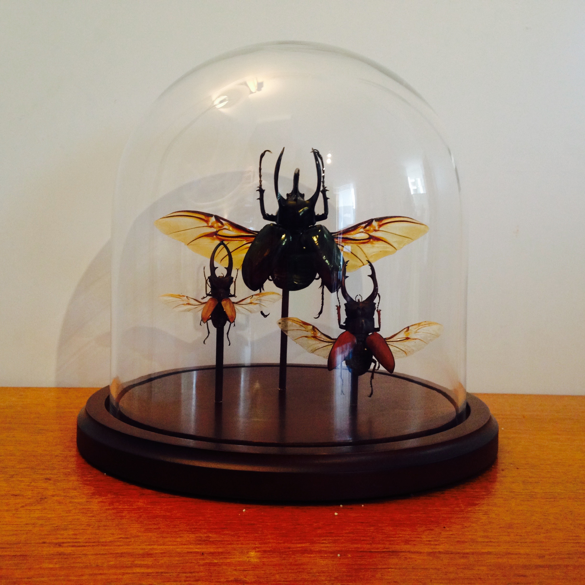 Coleopter glass dome