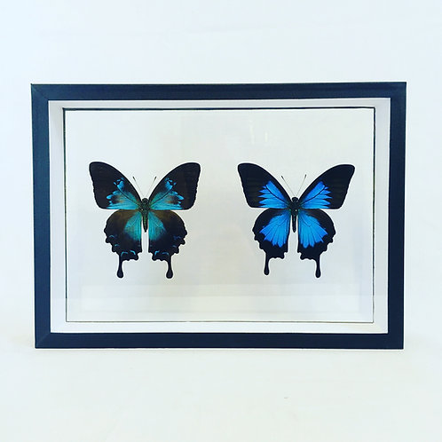 Couple de Papilio ulysses