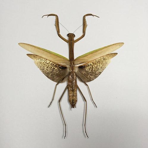 Tenodera Aridifolia