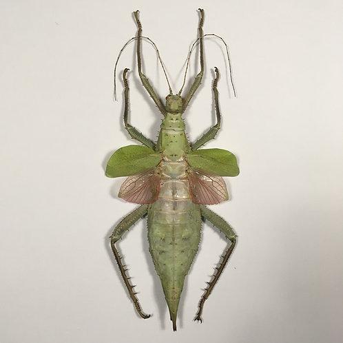 Heteropteryx Dilatata verte