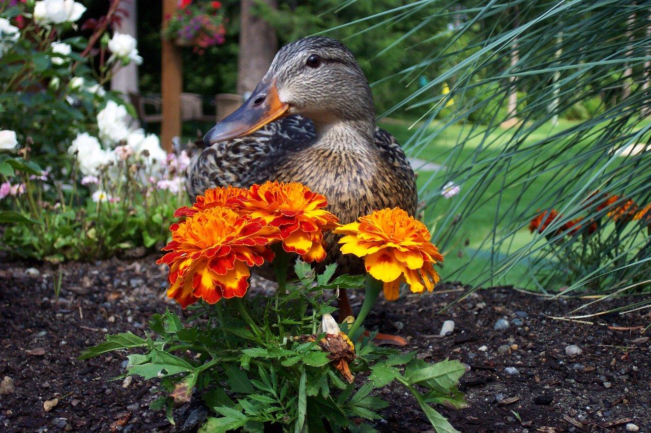 ducks & ponds '06 030
