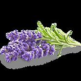 kisspng-english-lavender-flower-lavender