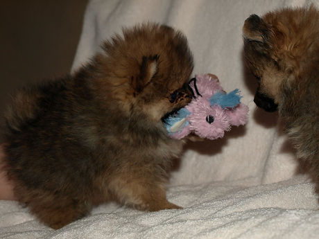 Eveningmist pom puppy