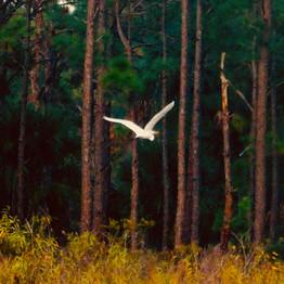 Flying white heron.