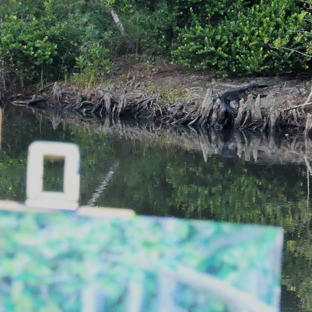Alligator in the background.