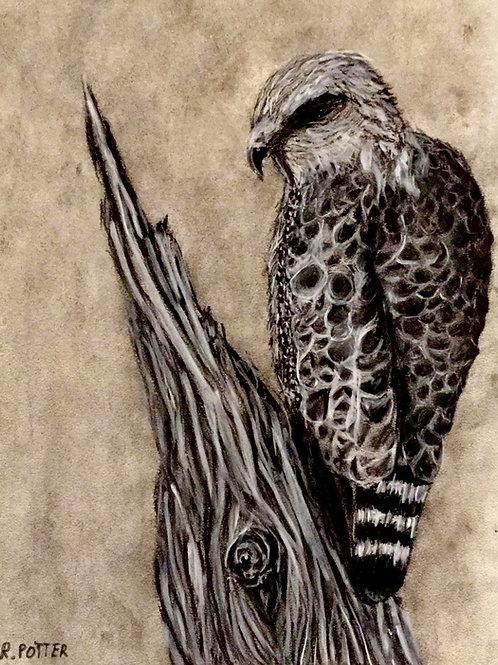 Coopers Hawk, Original Charcoal