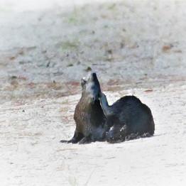 Otter on path.