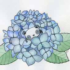 Hydrangea Panda