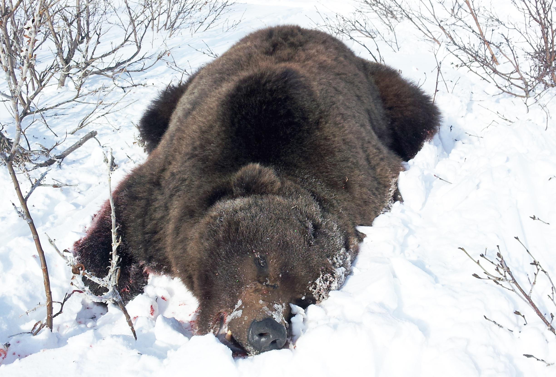 Monster Alaska Brown Bear