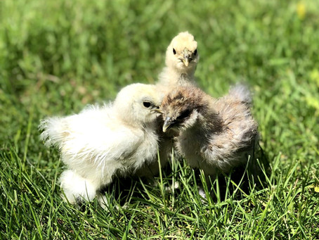 Dr. Stock Compares Non-Medicated Chick Starter Feed vs. Medicated