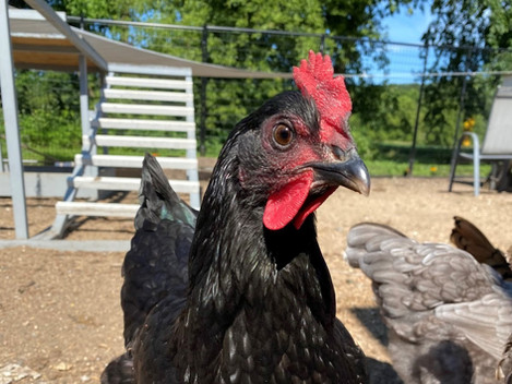 What You Need to Know About Fowl Pox!