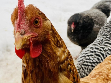 How Do Chickens See?