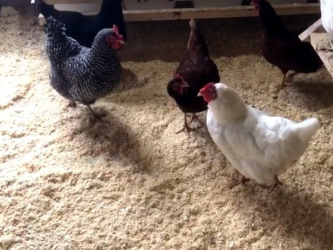 How to Keep Coop Bedding Fresh for Healthy Chickens