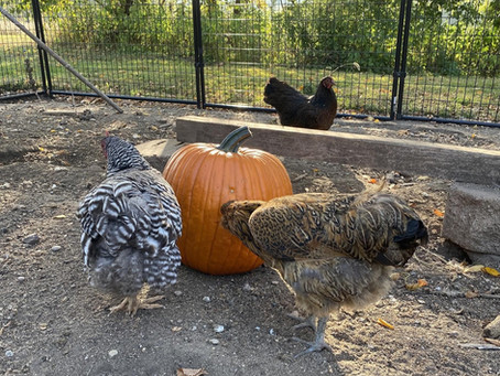 Fall Fun Activities with Chickens